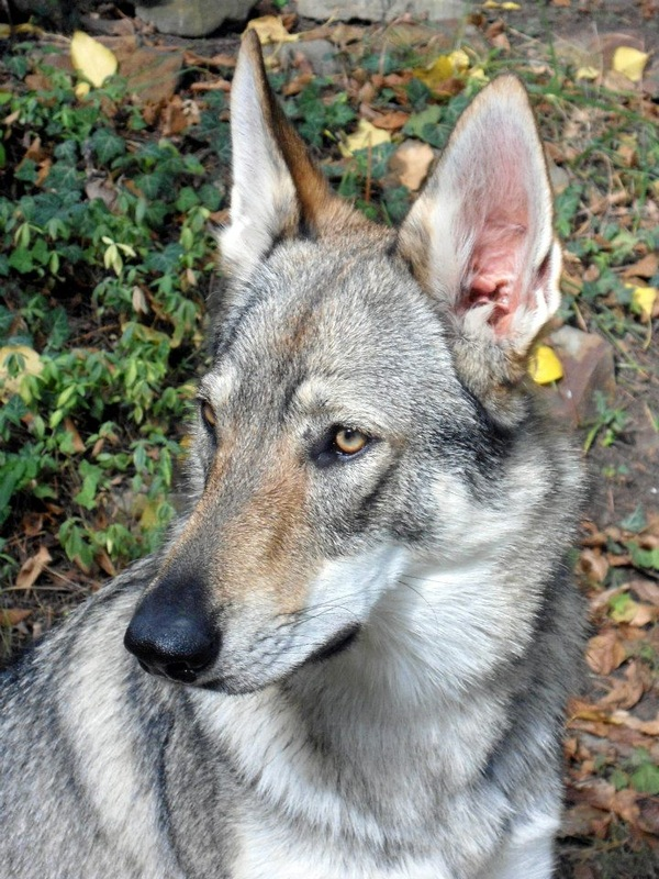 Silver czechoslovakian wolfdog - photo#5